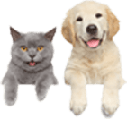 Labrador dog and gray cat are looking towards viewer