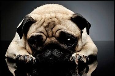 כלב מסוג פאג עצוב