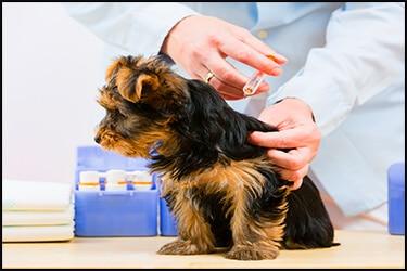 כלב קטן מקבל חיסונים אצל הוטרינר
