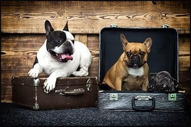 3 בולדוגים צרפתיים ליד ובתוך מזוודות