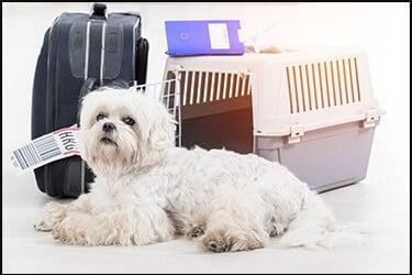 כלב בעל אף פחוס ליד כלוב הטסה ומזוודה
