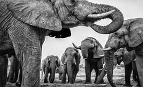 פילים בדרום אפריקה