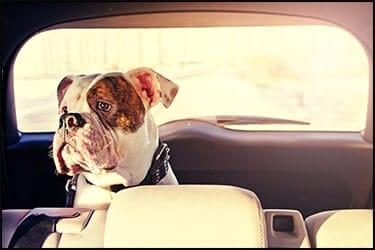 כלב בולדוג אנגלי יושב במושב האחורי של מונית