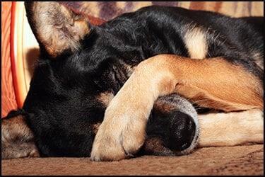 Sad dog covering nose