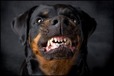 Dangerous rottweiler showing his teeth