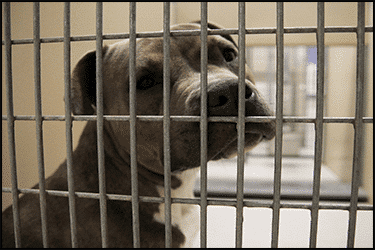 Sad Pitbull in quarantine