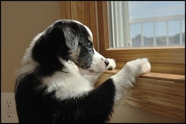 A black/white Australian Shepherd (Aussie) puppy watching out the window