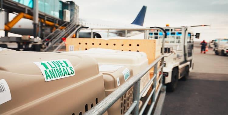 עגלת מזוודות בשדה התעופה מסיעה כלובי הטסה גדולים של כלבים לכיוון המטוס שלהם