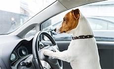 כלב מסוג ג'ק ראסל יושב בכסא הנהג ומחזיק בהגה