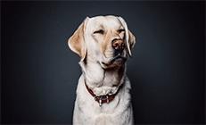 כלב לברדור עוצם עיניים על רקע שחור