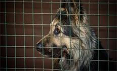 רועה גרמני גדול עצוב בתוך כלוב