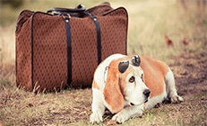 כלב עם משקפי שמש שוכב ליד מזוודה חומה מיושנת - כמה עולה להטיס כלב לחו