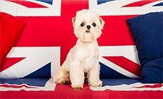 כלב יושב על ספא עם דגל של הממלכה המאוחדת