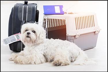 Brachycephalic dog next to a flight crate and luggage