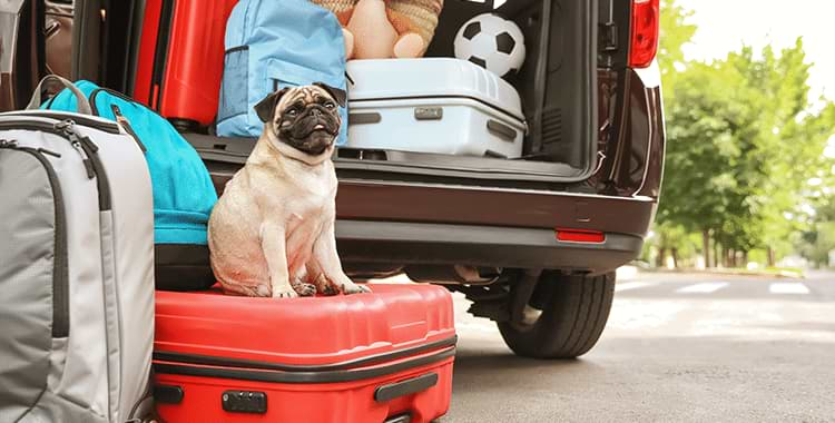 Pug dog sitting on a suitcase next to car before traveling