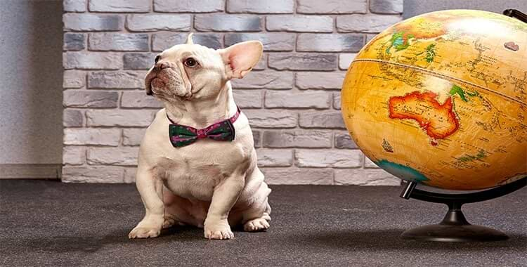 A French bulldog, a snub-nosed dog, near a globe