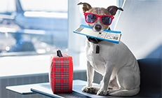 A dog with sunglasses sitting at the airport with his read luggage and a pet flight ticket in his mouth
