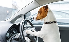 Jack Russell dog with his front legs on a steering wheel