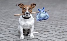 jack russell dog holding a bag
