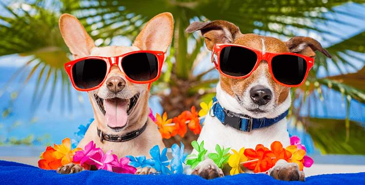 A Chihuahua dog and a Jack Russell dog both with sunglasses enjoying their vacation