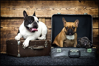 Snub-nosed dogs in luggage