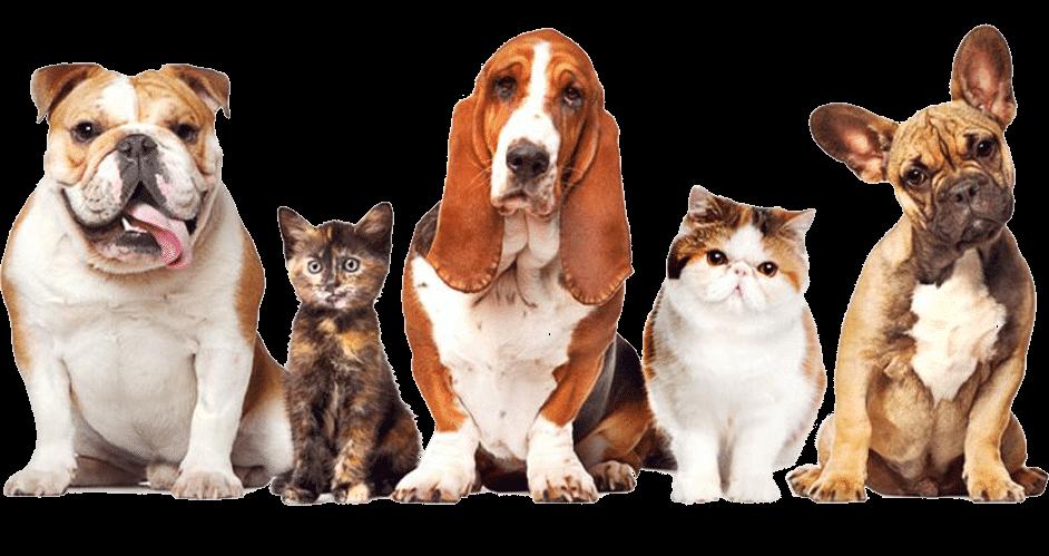 בולדוג צרפתי, חתול, באטס האונד