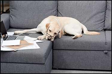 כלב מבואס עם משקפיים עם מסמכים לידו
