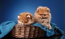 2 כלבי פומרניין בסל